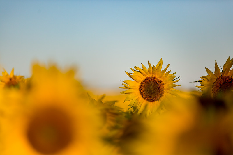 Mike Maney_Sunflowers-141.jpg