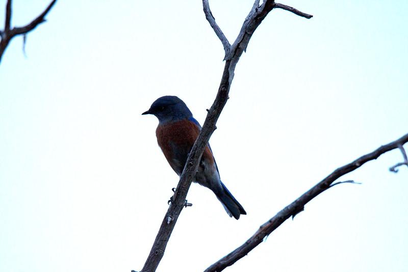 20141123_0613 Western Bluebird Chisos.jpg