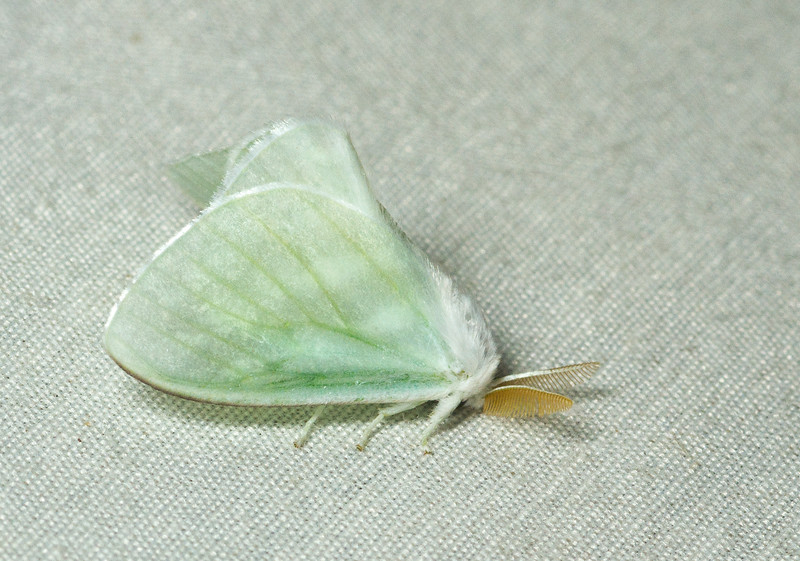 A floofy green moth from Panama, possibly Dalceridae.