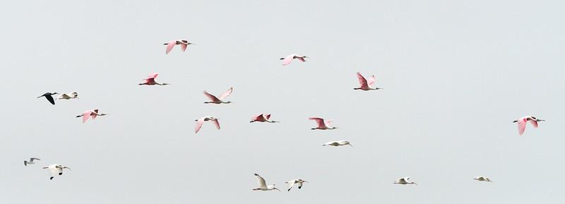 mixed flock Biolab Road Merritt Island NWR, Florida December 2012