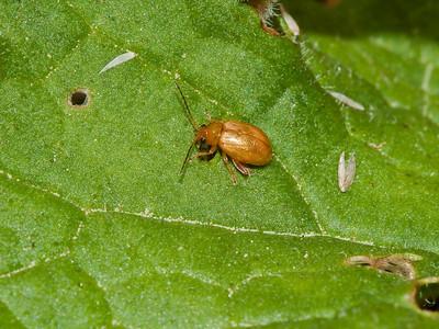 Leaf Beetle (Lochmaea caprea)