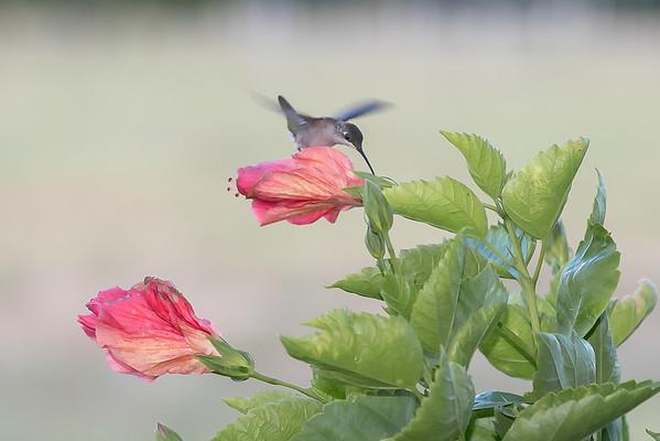 Hummingbirds & Butterflies August 2018