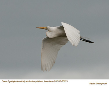 Great Egret A70273.jpg
