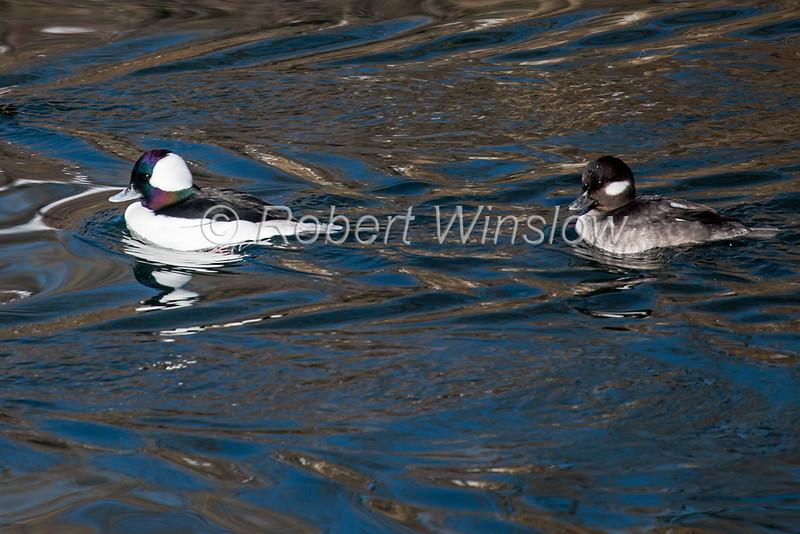Male and Female Bufflehead, Ducks, Bucephala albeola, La Plata County, Colorado, USA, North America