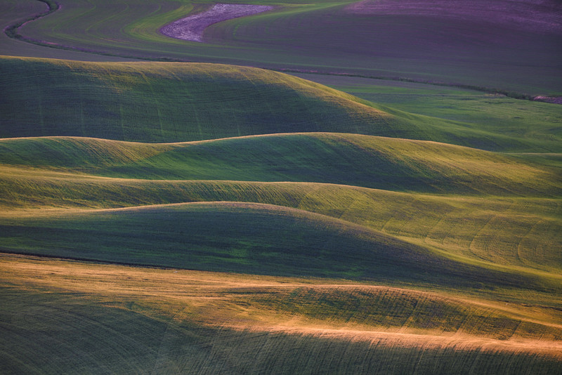 Spring Wheat Fields Palouse