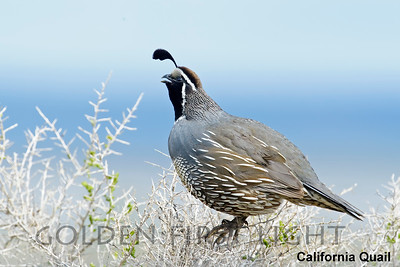California Quail, Malheur National Wildlife Refuge, USA