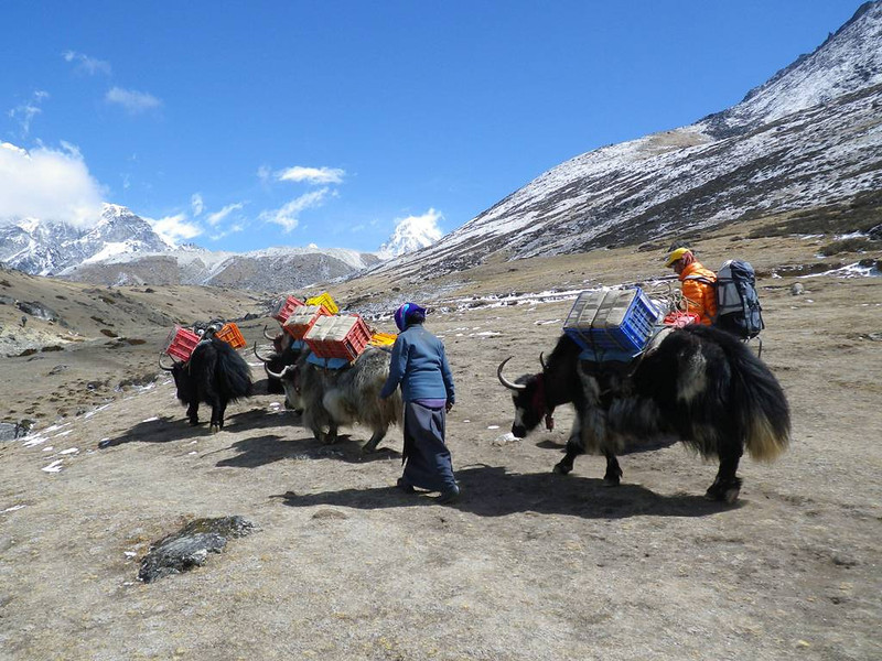 Yaks are very useful in Khumbu Valley.