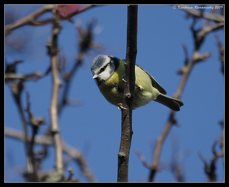 Eurasian Blue Tit, Portsmouth, England, UK, December 2009