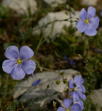 Mountain Flowers Lemhi Range