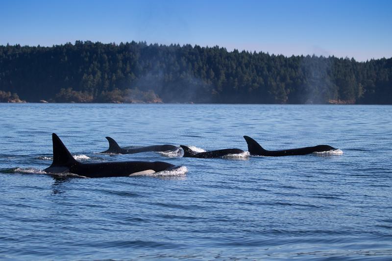 Orcas -  073115-621.jpg