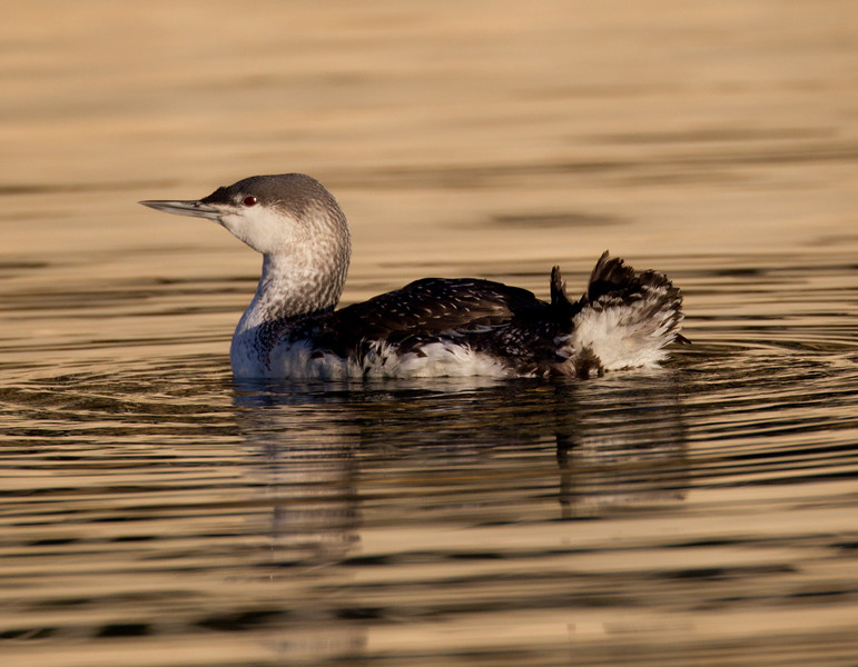 Red-throated Loon Dana Point 2014 01 10-1567.CR2