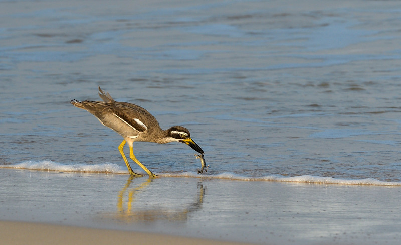 Beach-thick-knee-with-crab-snack-little-andaman-1.jpg