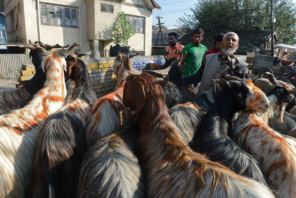 . Kashmiri livestock vendors sell goats ahead of the Muslim festival of Eid al-Adha, in Srinagar on October 15, 2013. AFP PHOTO/Tauseef MUSTAFA/AFP/Getty Images