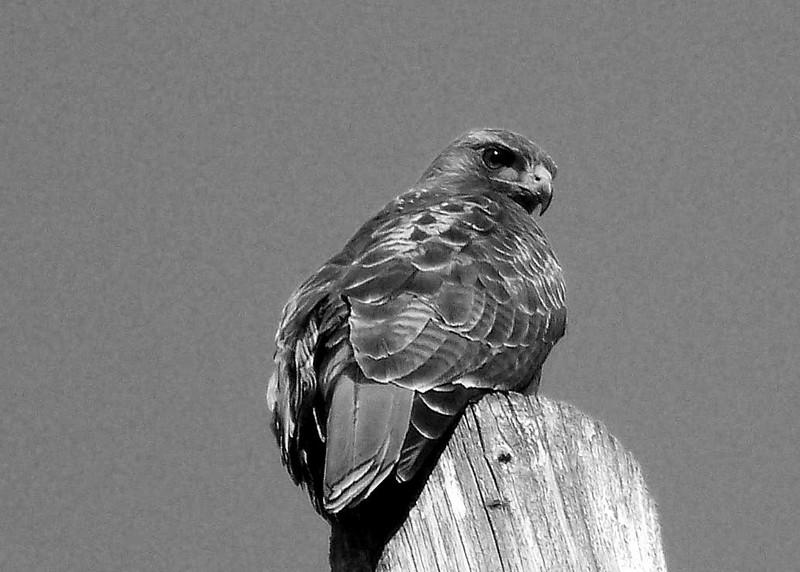 b&w redtail hawk