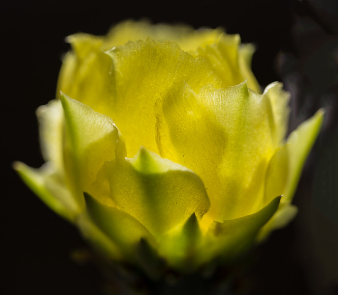 Cactus Flower 4-29-2017a.jpg