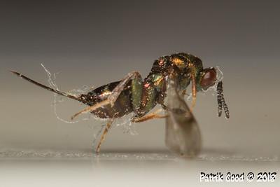 Erzwespe (Überfamilie Chrysidoidea)