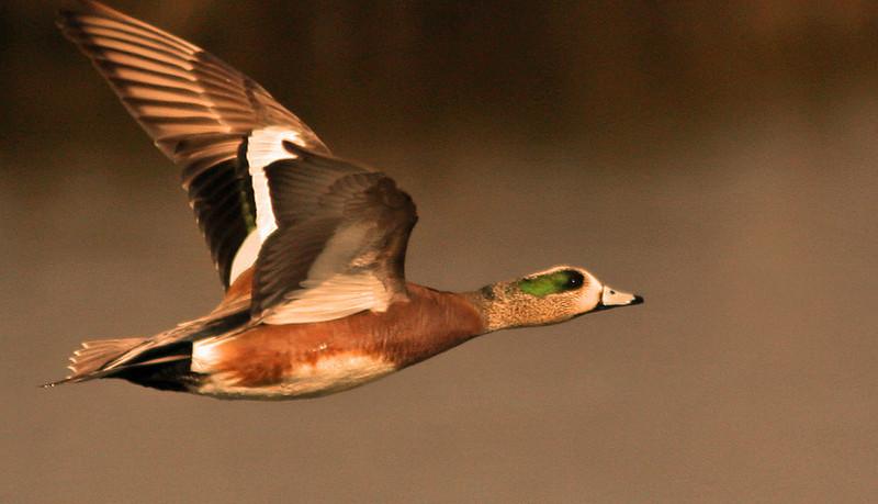 Widgeon in flight (Las Gallinas)