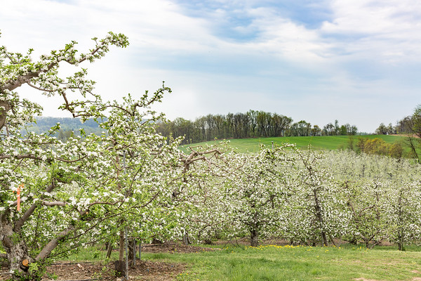 Orchard-Spring