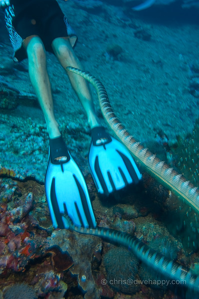 Sea Snakes Investigating Contents Of Cedric's Boardshorts © Chris Mitchell
