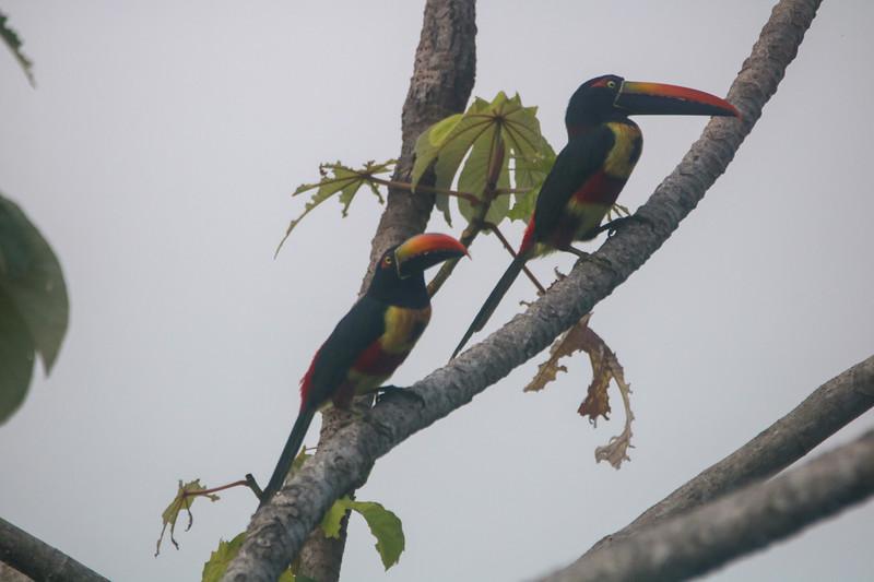 Fiery billed Aracari Toucan (Cusinga) in Costa Rica