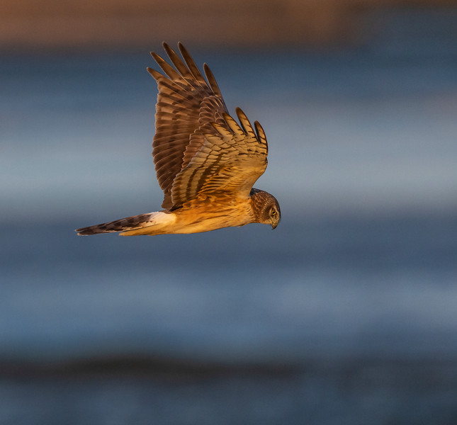 Harriers, Hawks and Hummers