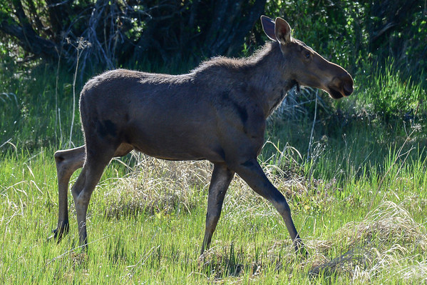 6 2013 Jun 15 Cow Moose With 1 Calf & 2 Young Moose On The Loose*