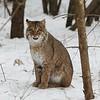 Bobcat_8692-cropped