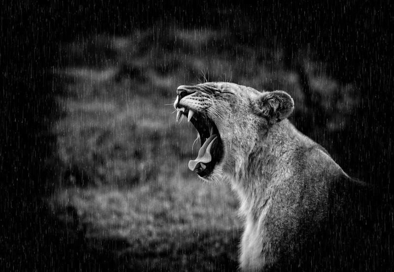 Yawning Female Lion