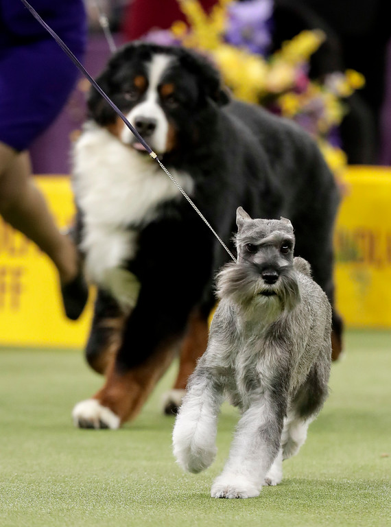 . A standard schnauzer takes another lap around the ring during the working group competition at the 141st Westminster Kennel Club Dog Show, Tuesday, Feb. 14, 2017, in New York. (AP Photo/Julie Jacobson)