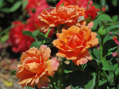 Unity Rose Garden