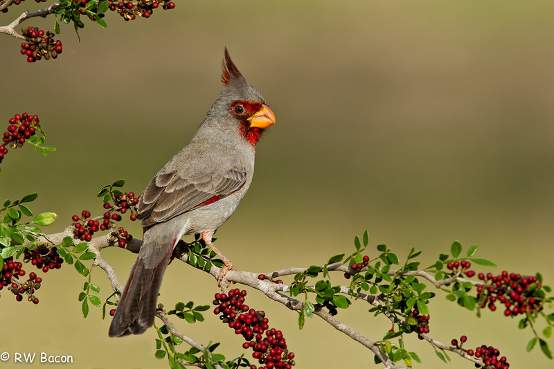 Pyrrhuloxia Laguna Seca Ranch Lower Rio Grande Valley Edinburgh, TX