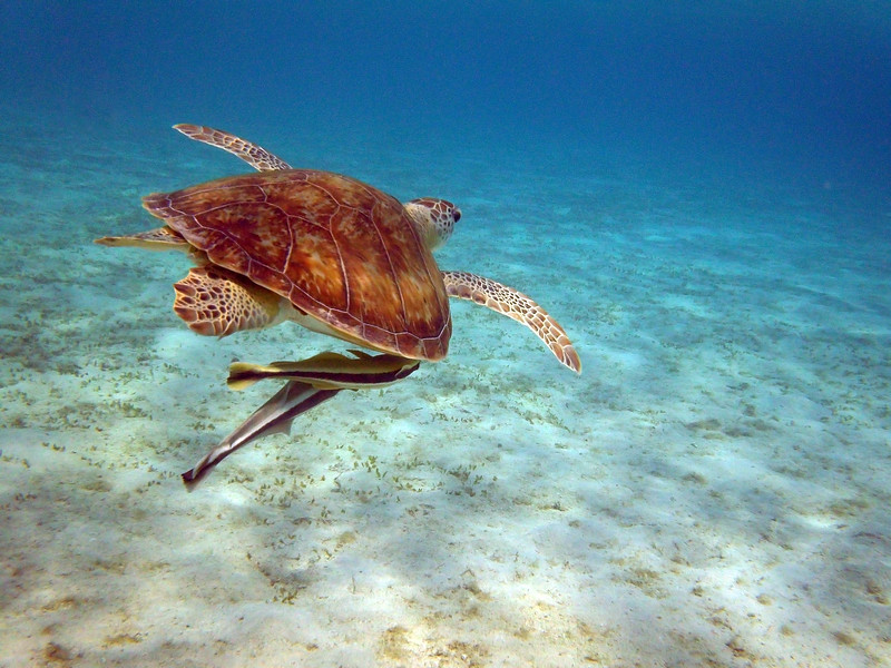 Sea Turtle with Remoras - Marsa Alam, Egypt - August 9, 2011