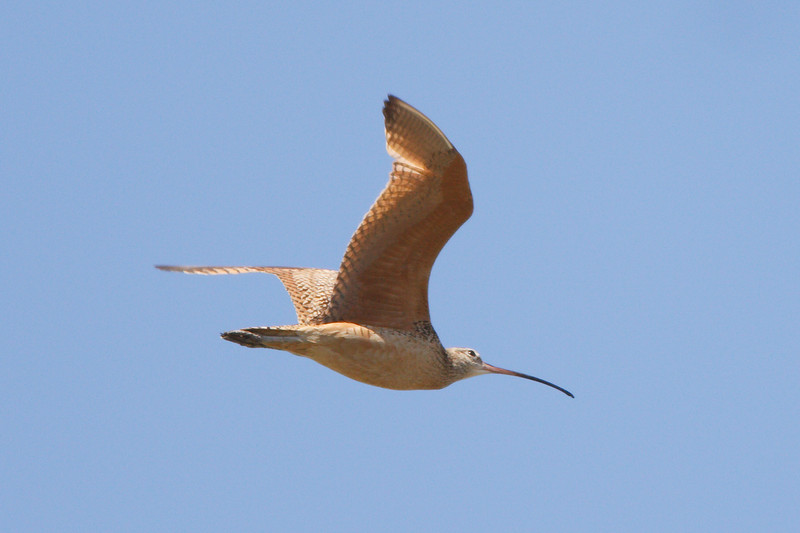 Long-billed Curlew at Firebaugh, CA (07-18-2009)