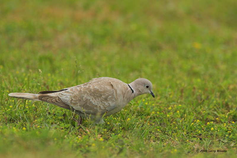 Eurasian Collared-dove found near St. Augustine