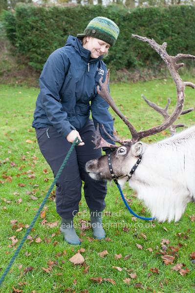 Reindeer on Christmas Tour: Cambridgeshire UK