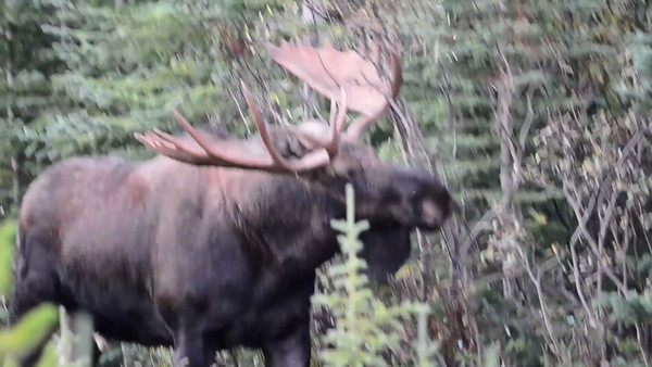 9 2013 Sept 27 Bull Moose Angry At The Bushes Video