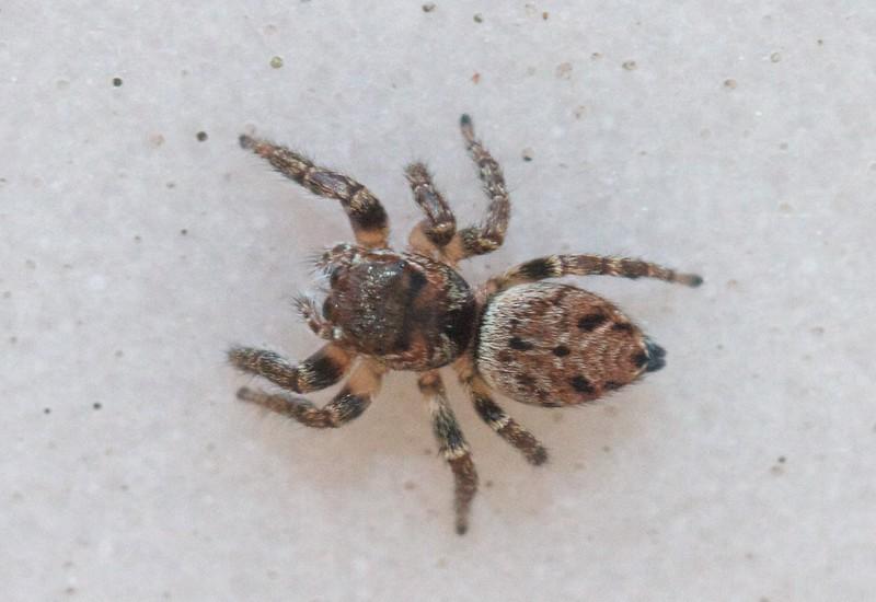 Evarcha hoyi jumping spider jumper Skogstjarna Carlton County MN IMG_7641.CR2.jpg