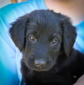 High Valley Crest Puppies!  Lacey x Pocos 2017