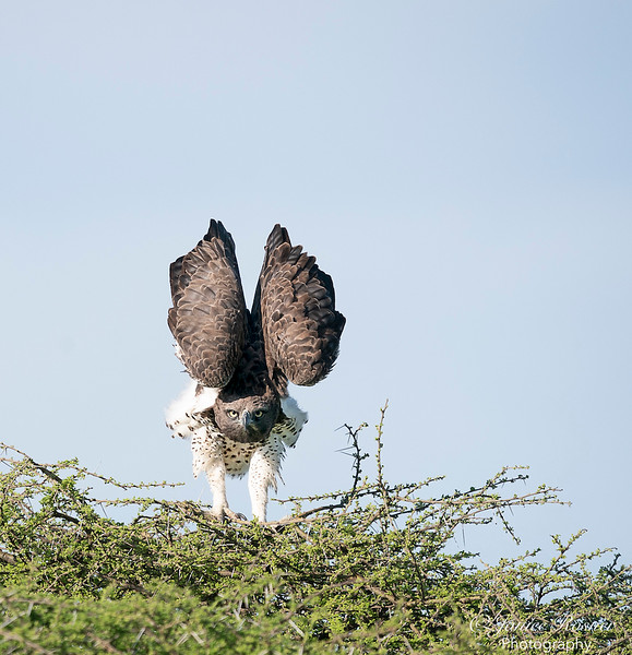 African Fish Eagle II