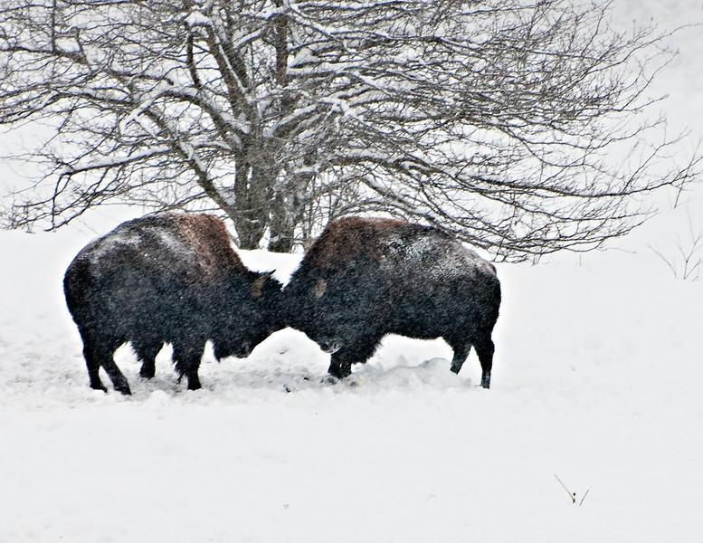 Buffalo-12.jpg
