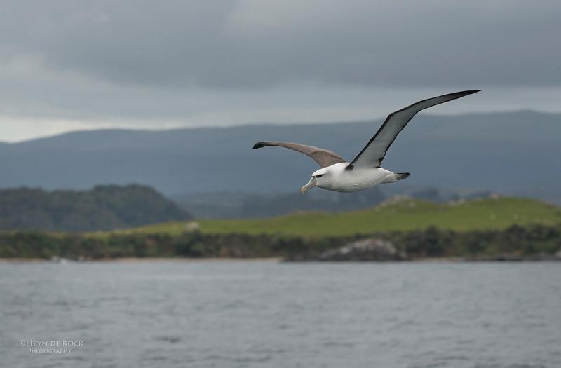 Shy Albatross, Stewart Island Pelagic, SI, NZ, Jan 2013-1.jpg