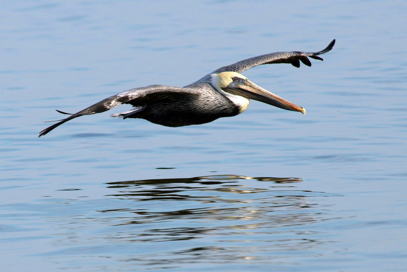 "Juvenile White Pelican skimming the water with the help of a ""ground effect."""