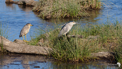 Black-crowned Night Heron and juvenile