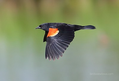 Blackbirds/Grackles