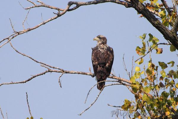 2010-10-11 Riverlands Migratory Bird Sanctuary