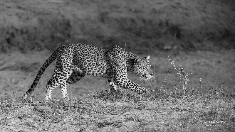Leopard (Tiyane), b&w, Sabi Sands (EP), SA, Oct 2016-2.jpg