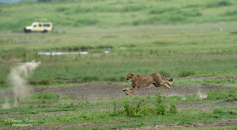 Run Cheetah, Run