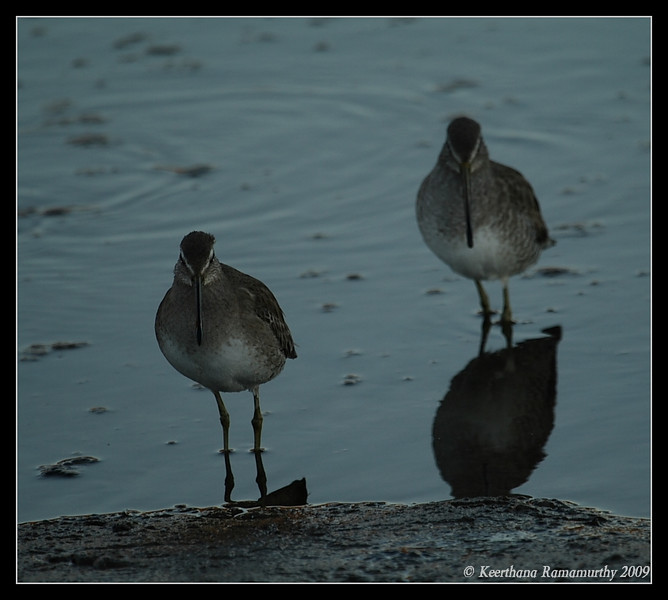 Short-Billed Dowitchers, Tijuana River Estuary, San Diego County, California, January 2009