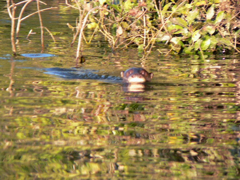 Another menaceing stare from a river otter, on our way back.