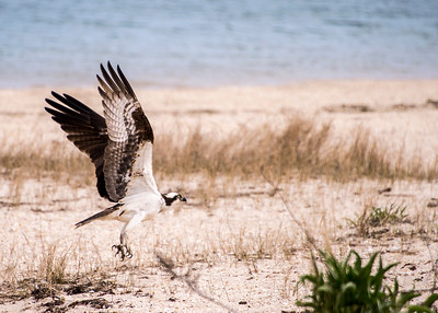 Ospreys of Long Beach, Noyack